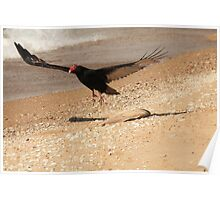 Turkey Vulture With Fish Carcass~ Poster