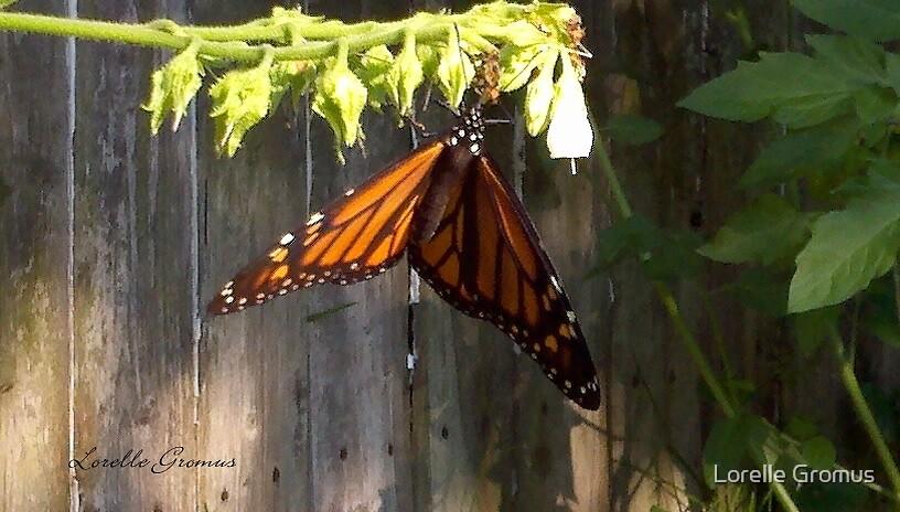 Monarch by Lorelle Gromus