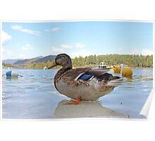 Duck!  Lake Placid New York Poster