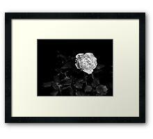 Midnight Rose Study 1 Framed Print