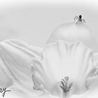 Charlotte's Daffodil by milkayphoto