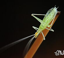 J. Cricket by milkayphoto