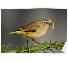 Yellow-rumped Thornbill  2# Poster