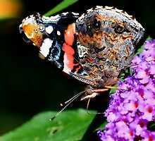 Red Admiral Underwing Colour by relayer51