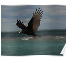 Turkey Vulture In Flight ~ Poster