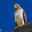 Red Tailed Hawk by John Absher