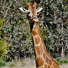 African Giraffe  by Luke Donegan