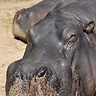 Lazy African Hippopotamus by Luke Donegan