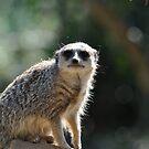 Curious African Meerkat by Luke Donegan