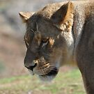 Angry Lioness by Luke Donegan
