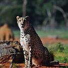 African Cheetah by Luke Donegan