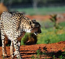African Cheetah On the lookout by Luke Donegan