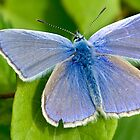 Common Blue by Keld Bach