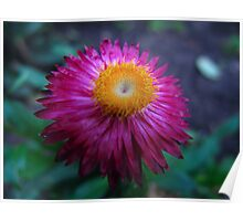 Strawflower in the green Poster