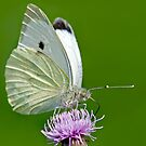 Cabbage White by Keld Bach