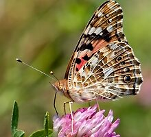 Painted Lady Posing by Keld Bach