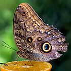 Owl Butterfly Feeding by Keld Bach
