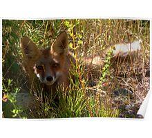 Shady Fox Poster