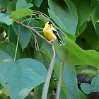 Catalpa Tree Goldfinch by Ron Russell