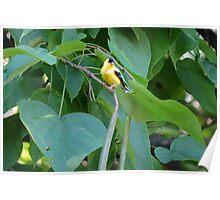 Catalpa Tree Goldfinch Poster