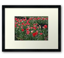 Pink Tulips at Floriade - Canberra  Framed Print