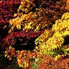 Acer Trees in Autumn by John Dalkin