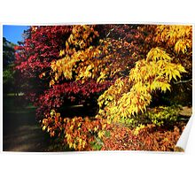 Acer Trees in Autumn Poster