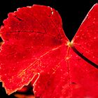 Bright red autumn vine leaf by Michael Brewer