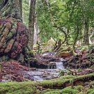 Ballroom Forest, Cradle Mountain, Tasmania by TonyCrehan