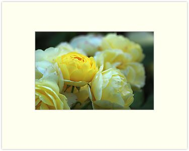 Yellow Roses by karina5