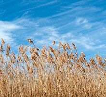 Marsh grasses waving in the breeze by Jeff Knapp