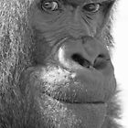 Mischievous Silverback by Colin Edwards