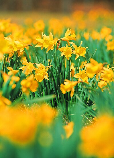 DAFFODILS by Chuck Wickham