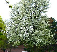 White blossoms in April by MarianBendeth