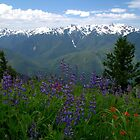 Olympic Mountain Wildflowers by Brian Harig