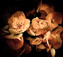Peach Begonia Flowers - Flora Photography by Chantal PhotoPix