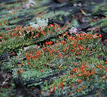 A forest of Lichen by Shanklinthomas