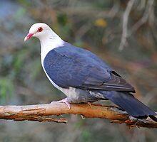 White Headed Pigeon. Cedar Creek, Queensland, Australia by Ralph de Zilva