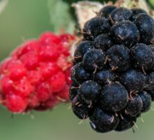Ripe and unripe wild  Blackberries  Sticker