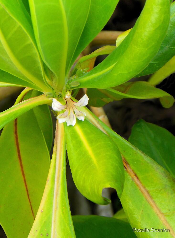 Small White Flower by Rosalie Scanlon