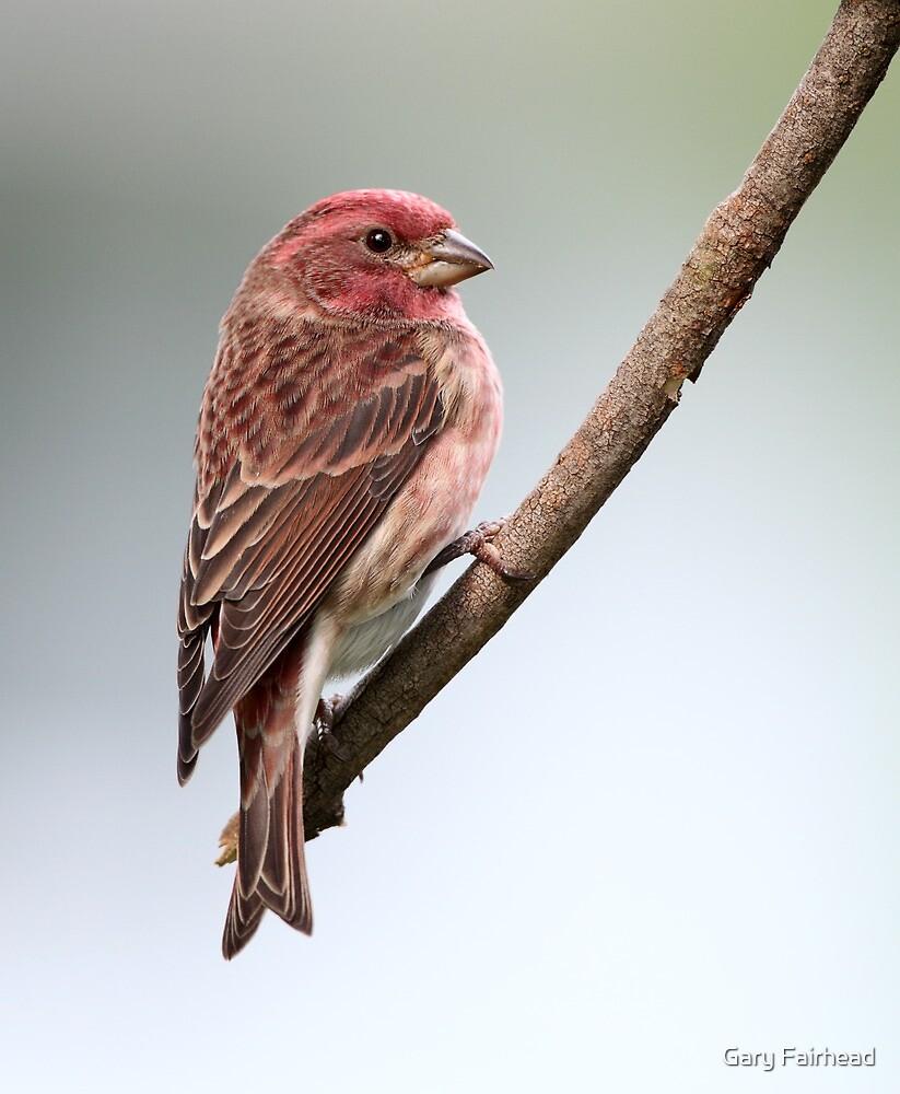 Purple Finch by Gary Fairhead