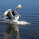 Pelican Landing by aussiebushstick