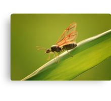 King of Ant Canvas Print