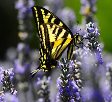 Monarch Butterfly and Lavender by franceshelen