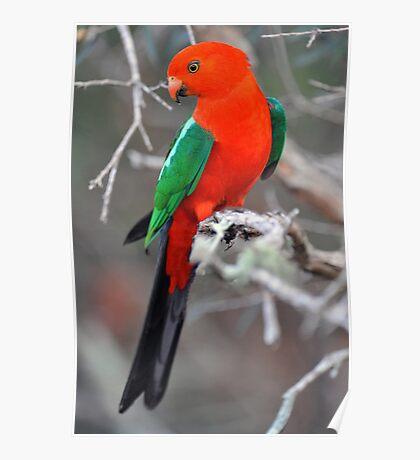 Male King Parrot. Cedar Creek, Queensland, Aust. Poster