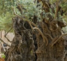 Jerusalem, Old Olive trees in the garden of Gethsemane Sticker