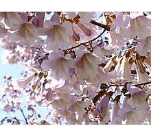 Paulownia Tree Photographic Print