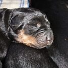A New Arrival - Rottweiler Puppy by taiche