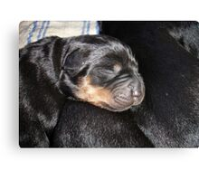 A New Arrival - Rottweiler Puppy Canvas Print
