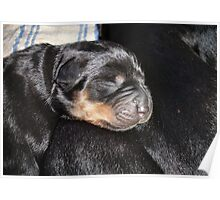 A New Arrival - Rottweiler Puppy Poster